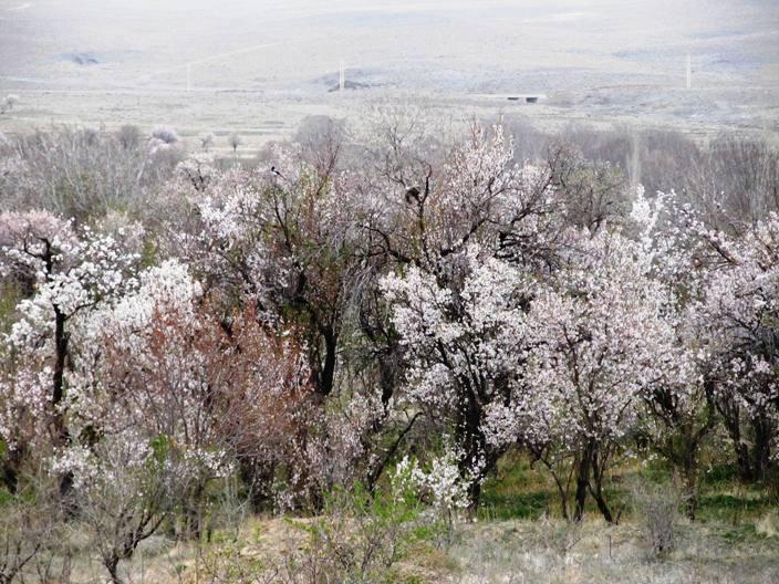شکوفه خوانسار