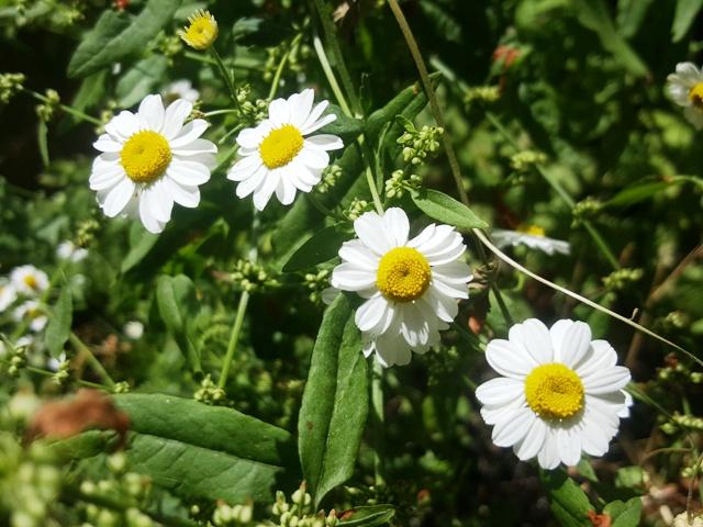 گلهای وشنوه
