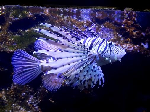 ماهی فایتر